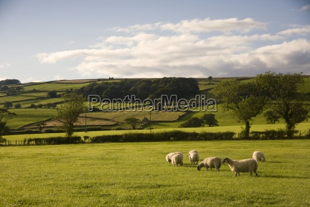 sheep in a field yorkshire england