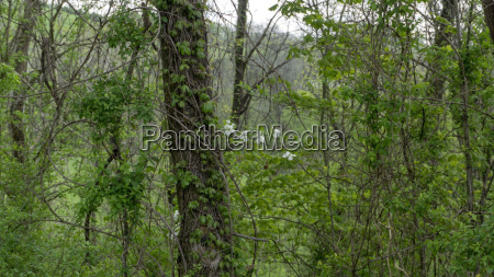 white oak tree with vines and