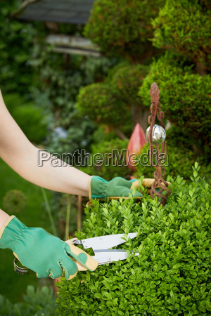 gardener pruning a topiary in a