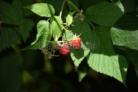 raspberry raspberry raspberry shrub tub berry