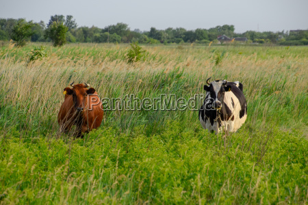 two cows in the pasture brown