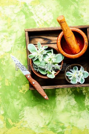 plant spurge with medicinal properties