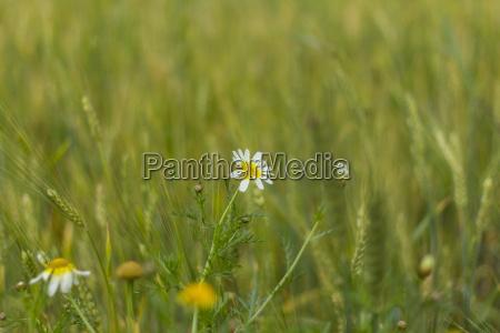 daisy flower in wheat field