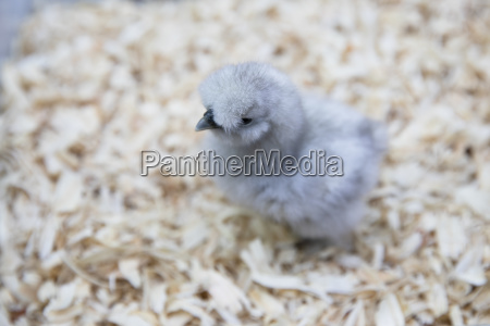 cute silkie chick in brooder