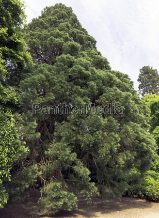 old sequoia redwood tree in