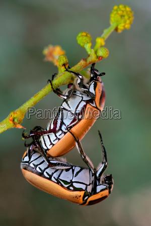 mating fruit chafer beetles
