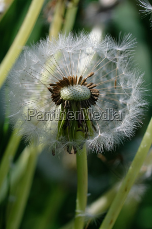 pusteblume seeds