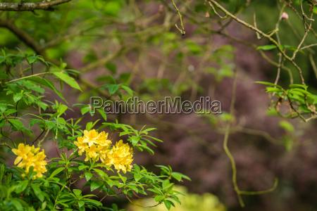 yellow azalea flowers on a tree