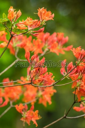 red and orange azalea flowers