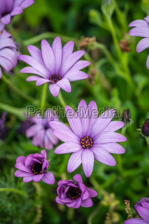 beautiful violet daisy flowers