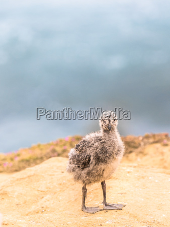 baby seagull chick standing on