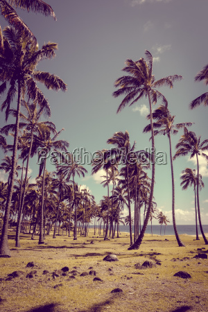 palm trees on anakena beach easter