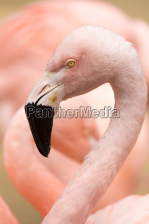head and neck of chilean flamingo