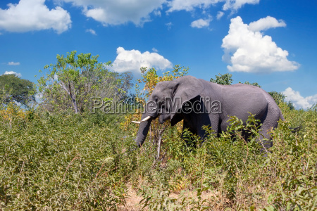 african elephant in chobe botswana safari