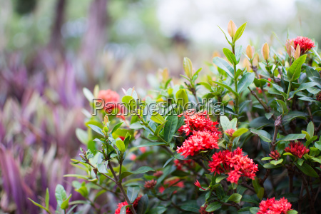 red west indian jasmine or ixora