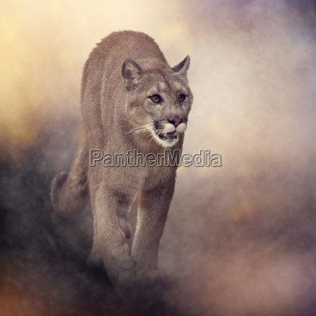 florida panther or cougar painting