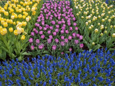 colorful tulips and blue hyacinth