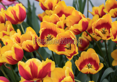 colorful botanical tulips flowers blooming in