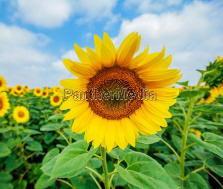 sunflowers summer nature landscape