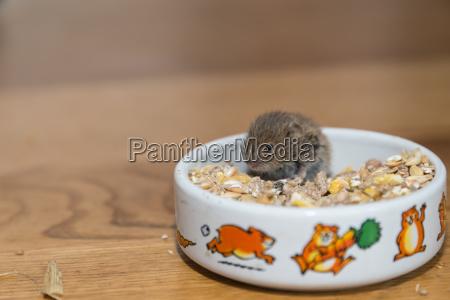 small field mouse eats closeup