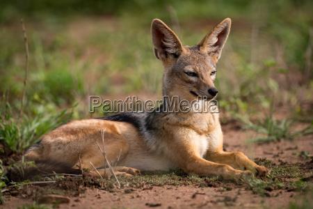 silver backed jackal lying in sunshine