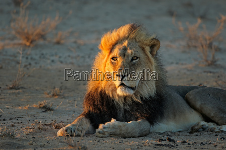 african lion in early morning light