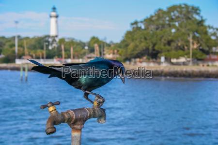 blackbird on a spigot