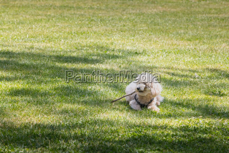little white poodle dog playing in