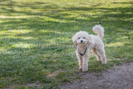 little white poodle dog standing in