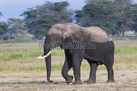 kenya amboseli elephant 4742