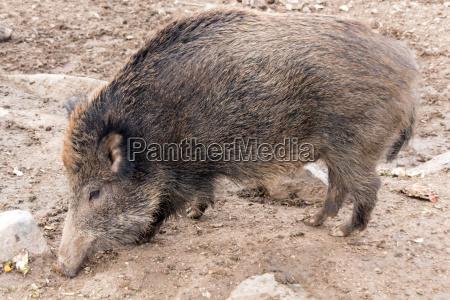 wild boar in deer park