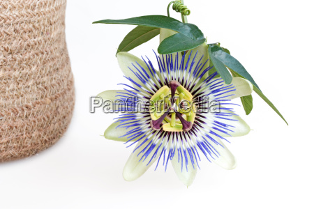 blossom of passion flower