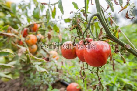 fresh organic tomatoes non gmo