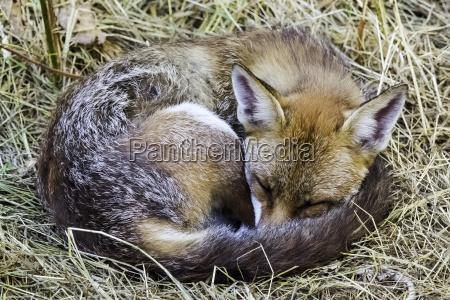 european red fox vulpes vulpes crucigera