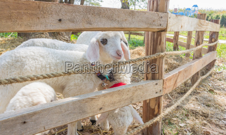 group of white sheep or ram