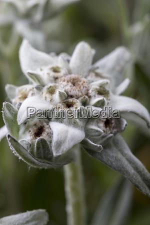 closeup of open edelweiss flowers