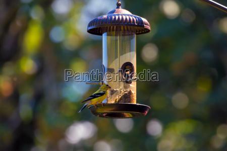 goldfinch feeding on birdfeeder