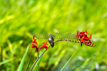 rufous hummingbird perched on flower stalk