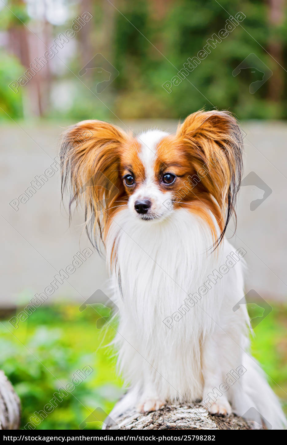 Portrait of a papillon purebreed dog - Stock image - #25798282 -  PantherMedia Stock Agency