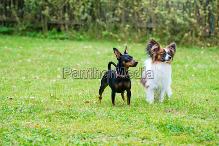 miniature pinscher and papillon purebreed dogs