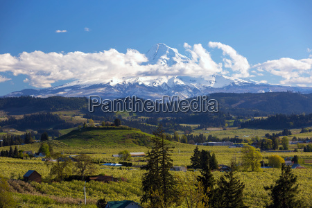 mount hood over fruit orchards in