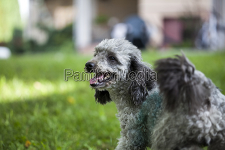 poodle in the garden