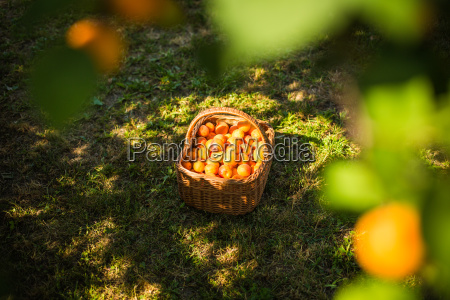 apricot tree with fruits growing in