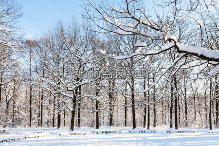 snow covered oaks around benches in