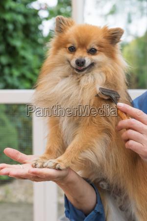 groomed smiling pomeranian german spitz dog