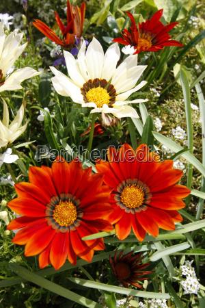gazania daybreak flowers