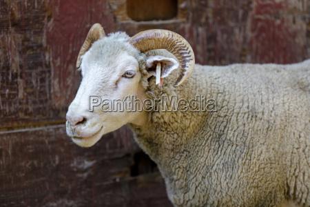 domestic sheep dorset horn breed adult