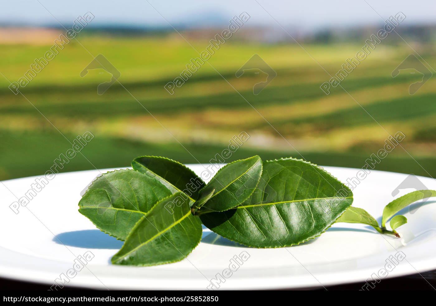 Fresh Green Tea Leaves Stock Image 25852850 Panthermedia Stock Agency