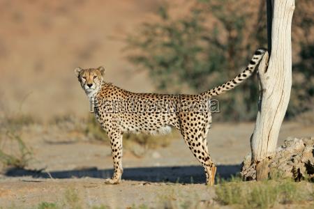 male cheetah marking territory