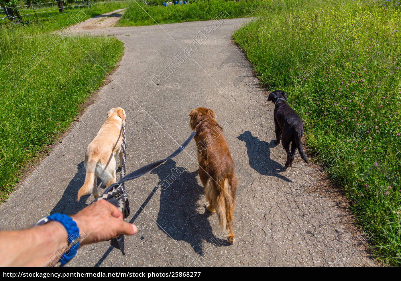 leading, som, dogs, on, a, leash - 25868277